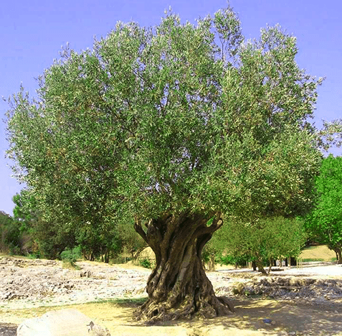 el-origen-olivo