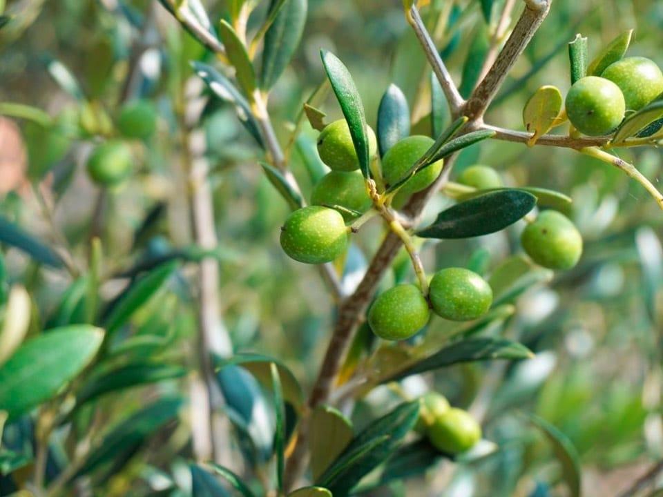 El mejor Aceite de Oliva Virgen Extra de Aceites Llorente. Producción de aceite de oliva