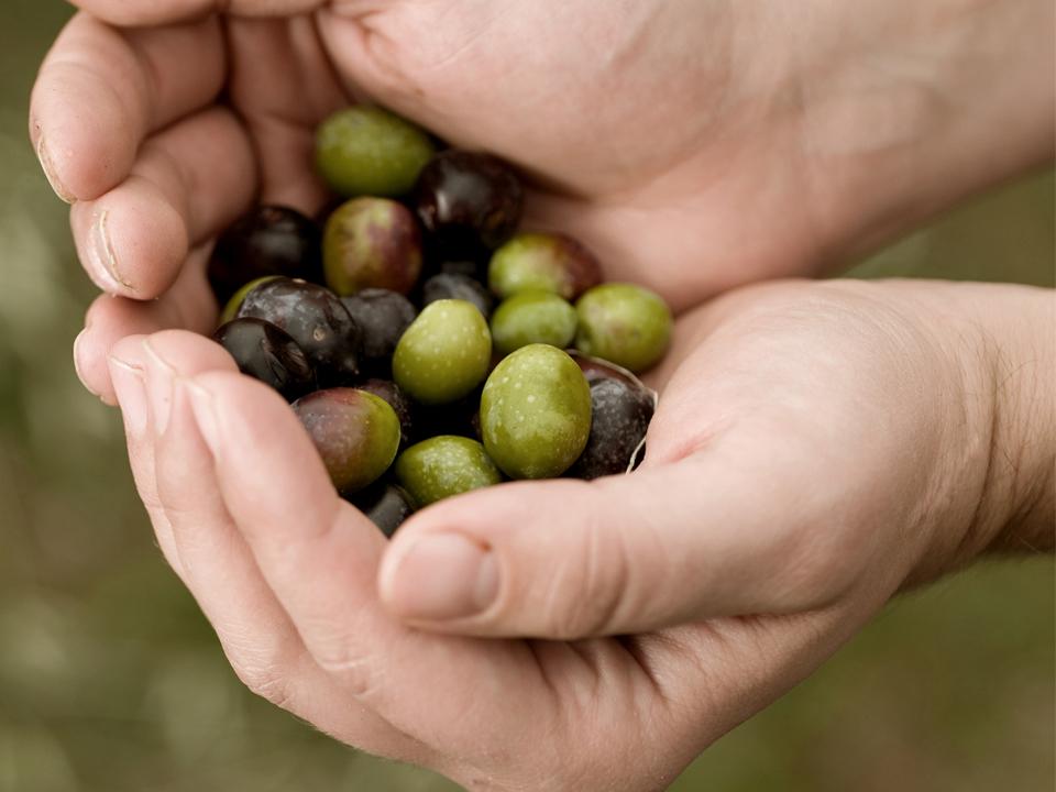 Aceite Y Olivos, Una Relación De Calidad – Aceites Llorente